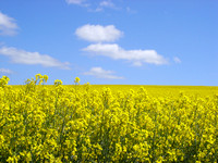 Canola crops in flower with blue sky and white clouds.